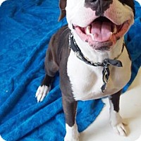 Terrier (Unknown Type, Medium)/American Bulldog Mix Dog for adoption in Belle Chasse, Louisiana - Jersey