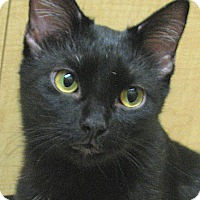 Domestic Shorthair Cat for adoption in Tulsa, Oklahoma - Margarita