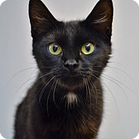 Domestic Shorthair Cat for adoption in DuQuoin, Illinois - Miss Kitty