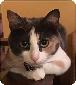 American Shorthair Cat for adoption in Clarksville, Tennessee - Olive