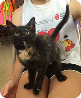 Domestic Shorthair Kitten for adoption in Breese, Illinois - Harper