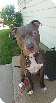 Pit Bull Terrier Dog for adoption in Berea, Ohio - Cash