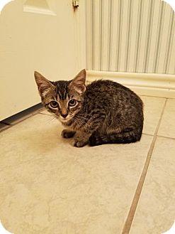 Domestic Shorthair Kitten for adoption in McKinney, Texas - Simone