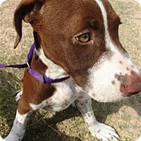 German Shorthaired Pointer/Beagle Mix Dog for adoption in Quinlan, Texas - Waldo