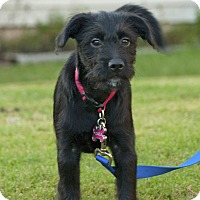 Collie Mix Puppy for adoption in Woodstock, Georgia - Darla
