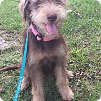 Terrier (Unknown Type, Medium)/Schnauzer (Standard) Mix Puppy for adoption in Seattle, Washington - Bailey