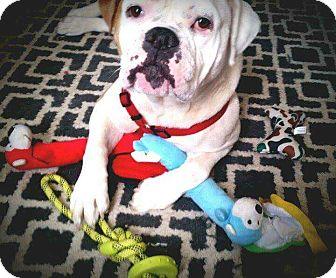 English Bulldog Mix Dog for adoption in E. Greenwhich, Rhode Island - Pearl