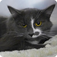 Domestic Mediumhair Cat for adoption in Westampton, New Jersey - Sam 33841564