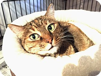 Domestic Shorthair Cat for adoption in Los Angeles, California - Corn