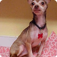 Chihuahua Dog for adoption in Dahlgren, Virginia - Eddie Munster - 7 lbs