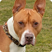 Adopt A Pet :: Badger  3387111 - Westampton, NJ