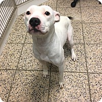 Adopt A Pet :: Lilly - Avon, OH
