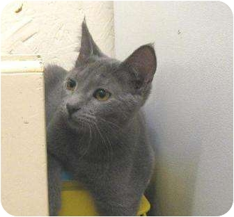 Russian Blue Kitten for adoption in Metairie, Louisiana - Sara