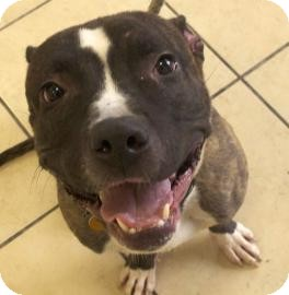 American Pit Bull Terrier Mix Dog for adoption in Brooklyn, New York - Brody