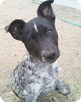 rat terrier australian cattle dog mix linus adoption pending adopted puppy phoenix az 8217