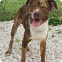 Adopt A Pet :: Nova - Bardonia, NY