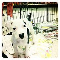 Adopt A Pet :: Pluto - Louisville, KY