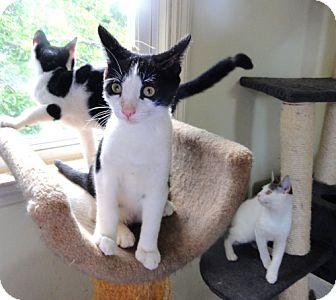 Domestic Shorthair Kitten for adoption in Devon, Pennsylvania - Kittens need homes