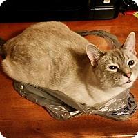 Adopt A Pet :: Mittens - Fairborn, OH