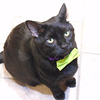 Adopt A Pet :: Midnight - St. Charles, MO