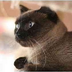 Photo 3 - Siamese Cat for adoption in New York, New York - Mina