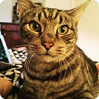 Adopt A Pet :: Sherlock - Waldorf, MD