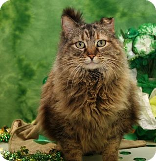 Maine Coon Cat for adoption in Bedford, Texas - Snickers