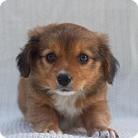 Adopt A Pet :: Slinky Boy - Loomis, CA