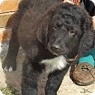 Adopt A Pet :: Hank / pup - adopted