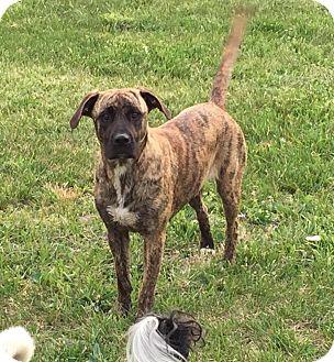 Plott Hound/Labrador Retriever Mix Dog for adoption in Morehead, Kentucky - Bongo