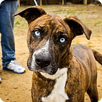 Black Mouth Cur Mix Dog for adoption in Jasper, Alabama - Mrs. Blue Eyes
