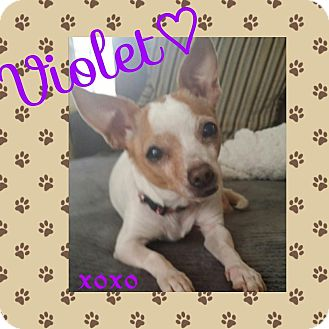 Chihuahua Dog for adoption in Indianapolis, Indiana - Violet