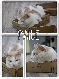 Domestic Shorthair Cat for adoption in Orleans, Vermont - Paige