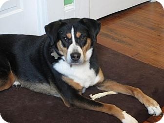 Greater Swiss Mountain Dog/Hound (Unknown Type) Mix Dog for adoption in Alpharetta, Georgia - Scarley