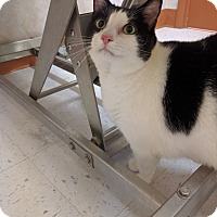 Domestic Shorthair Cat for adoption in Newark, Delaware - Jake