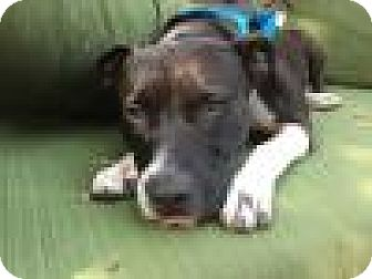 American Pit Bull Terrier Mix Dog for adoption in Beverly Hills, California - Courtesy Listing - Kenny