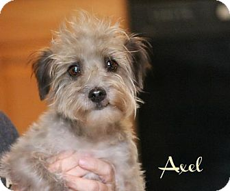 Poodle (Miniature)/Standard Schnauzer Mix Dog for adoption in Benton, Louisiana - Axel