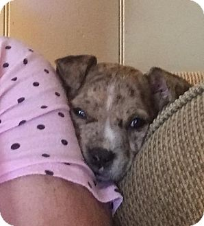 Catahoula Leopard Dog Mix Puppy for adoption in Trenton, New Jersey - Cisco