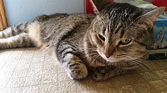 Domestic Shorthair Cat for adoption in fort wayne, Indiana - Ariel