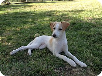 Jack Russell Terrier/Italian Greyhound Mix Puppy for adoption in El Cajon, California - Kiwi