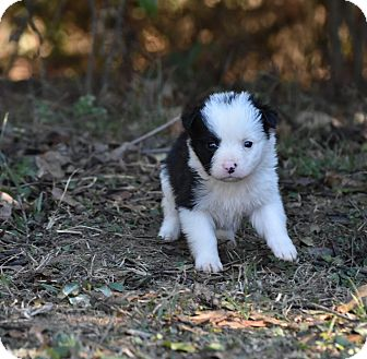 English Setter Mix Puppy for adoption in Groton, Massachusetts - Empress