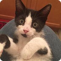 Adopt A Pet :: Crookshanks - Gainesville, FL