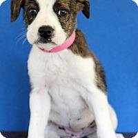 Adopt A Pet :: Amery - Waldorf, MD
