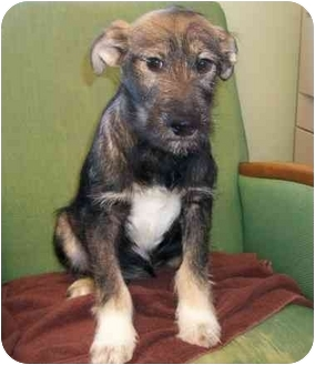 Monique Adopted Puppy Little Falls Mn Schnauzer Standard German Shepherd Dog Mix