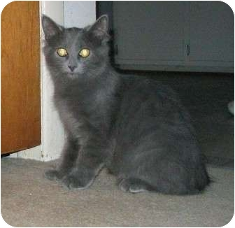 Domestic Mediumhair Kitten for adoption in Cincinnati, Ohio - Daniel