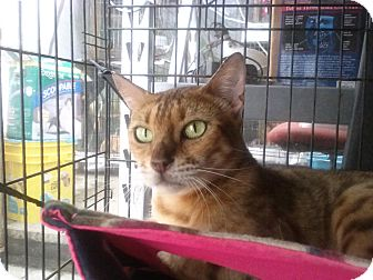 Bengal Cat for adoption in Lantana, Florida - Truffles Noir