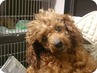 Toy Poodle Dog for adoption in baltimore, Maryland - Heidi