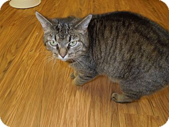 Domestic Shorthair Cat for adoption in Medina, Ohio - Mila