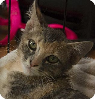 Calico Cat for adoption in Norman, Oklahoma - Pixie and Star