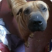 Adopt A Pet :: Maximus - Jarrell, TX